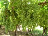 Grappoli di uva da mosto - varietà trebbiano  - Naro (10458 clic)