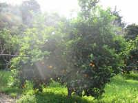 Arancio dell'Acquacanna  - Campofelice di roccella (2973 clic)