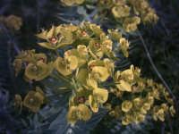 fiori dell'Etna  - Etna (3507 clic)
