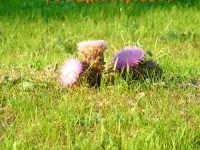 Cardi selvatici in fiore.  - Piana degli albanesi (5556 clic)
