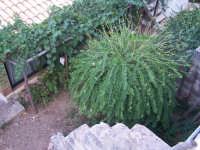 Gigantesca pianta di capperi da primato. Più alta e più grossa delle viti a fianco coltivate a pergola.  - Marettimo (4881 clic)