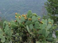 Pale di Fico d'india: zona Raiù  - Fondachelli fantina (12478 clic)