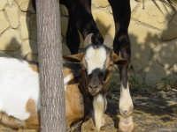 Antica Fiera del Bestiame Settembre 2004  - Terme vigliatore (7126 clic)