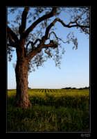 Ulivo nella campagna rosolinese  - Rosolini (5487 clic)