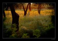 Alberi nella campagna rosolinese  - Rosolini (5391 clic)