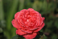 i fiori di zio gilberto   - Castelluccio (5113 clic)