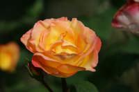 la rosa variopinta di zio gilberto   - Castelluccio (6396 clic)