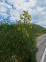 Fiore di Finocchio selvatico   - Scillato (1865 clic)