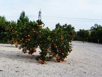 Arancio della Masseria Portiere Stella La bellezza e la generosità della natura - dicembre 2012 -  - Paternò (2946 clic)