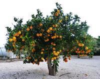 Arancio carico di frutti Aranceto della Masseria Portiere Stella  -  dicembre 2012 -  - Paternò (2134 clic)