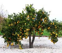 Albero di arance alla Masseria  Portiere Stella Aranceto dell'agriturismo Masseria Portiere Stella - dicembre 2012 -  - Paternò (5231 clic)