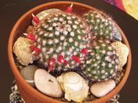 cactus Dopo una fioritura quasi invisibile tanto sono piccoli i fiori, questo cactus regala queste belle bacche rosse  - Palermo (795 clic)