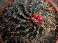 Cactus con bacche rosse dopo la fioritura  PALERMO Maria Pia Lo Verso