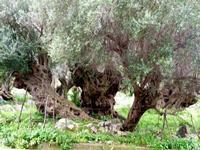 Ulivi Ulivi secolari in località Torretta   - Torretta (2427 clic)