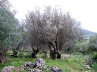 Ulivi Ulivi secolari in località Torretta   - Torretta (2521 clic)
