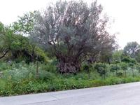 Ulivi Ulivi secolari in località Torretta   - Torretta (2614 clic)