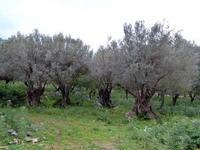 Ulivi Ulivi secolari in località Torretta   - Torretta (2778 clic)