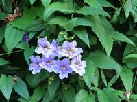 Thunbergia laurifolia: rampicante con fiori azzurri Thunbergia laurifolia:pianta rampicante con campanule azzurre, nativa delle zone orientali e meridionali dell' Africa -  novembre 2013  - Sant'angelo di brolo (4494 clic)