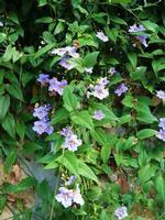 Thunbergia laurifolia :rampicante con fiori azzurri Thunbergia laurifolia nativa delle zone orientali e meridionali dell' Africa - novembre 2013  - Sant'angelo di brolo (3013 clic)