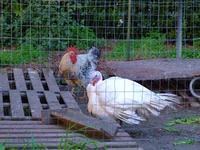 Tacchino e gallo  nel pollaio  Gennaio 2014  - Paternò (1587 clic)