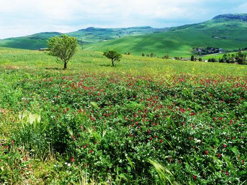 campi di sulla in fiore - TREMONSELLI - inserita il 14-Apr-14