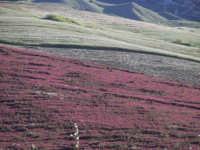 Campo di sulla Campo di sulla tra Tre Monzelli e Resuttano  - Valledolmo (9786 clic)