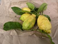limoni siciliani  PALERMO Maria Pia Lo Verso