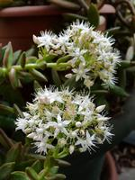 fiori di pianta grassa  PALERMO Maria Pia Lo Verso