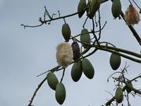 Grandi semi di Chorisia Quando i semi sono maturi si aprono e offrono il loro particolare cotone. Alcune persone lo utilizzano.  - Monreale (1148 clic)