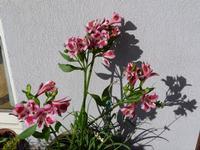 Astromelia rosa  PALERMO Maria Pia Lo Verso