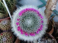 Cactus con corolla di fiorellini I fiori  si aprono sempre verso le 11,30 per più di una settimana.