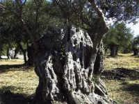 Ulivo saraceno Ulivo Saraceno  - Giardinello (10493 clic)