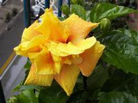 Ibiscus giallo  L' ibiscus giallo dopo la pioggia primaverile  PALERMO Maria Pia Lo Verso