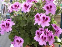 Pelargonium  PALERMO Maria Pia Lo Verso