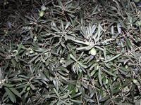Rami di ulivo Questo albero di olive è nato e cresciuto nel mio giardino.   PALERMO Maria Pia Lo Ver