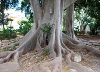 Ficus di Villa Niscemi  PALERMO Maria Pia Lo Verso