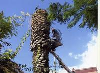 Abbattimento della palma l'abbattimento della palma distrutta dal punteruolo rosso. 26.08.2008 PALER