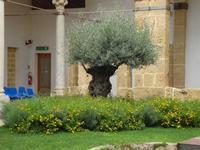 L'ulivo del chiostro del Carmine Ulivo saraceno messo a dimora dopo che il punteruolo rosso aveva infettato e distrutto la palma all'interno del Chiostro dell'ex Convento del Carmine  - luglio 2009  - Marsala (5177 clic)