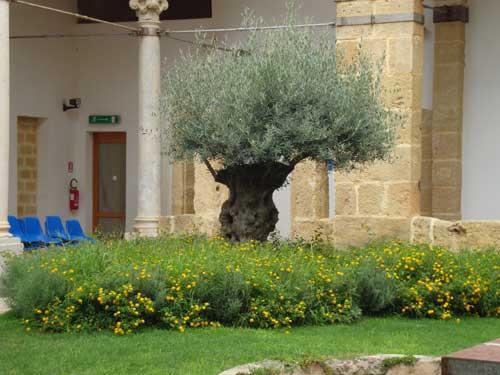 L'ulivo del chiostro del Carmine - MARSALA - inserita il