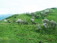 Mandorli in fiore   - Valledolmo (2620 clic)