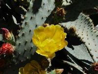 Fiore di fichidindia  -- maggio  2013  - San giovanni la punta (1610 clic)