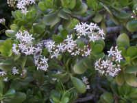 Crassula in fiore pianta grassa del mio giardino  - Palermo (4090 clic)