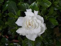 Gardenia  questo fiore di gardenia è sbocciato a casa mia PALERMO Maria Pia Lo Verso