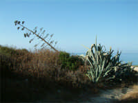 Agave  - Iblei (4921 clic)