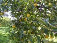 Parte dell'Azienda dove vengono coltivate le arance.(foto Pianta di Arancio con Frutto)  - Belpasso (3543 clic)