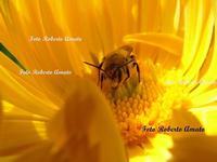 La laboriosa ape produce dell' ottimo miele dai fiori del territorio Carinese.  - Carini (4130 clic)