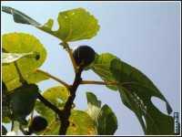 vegetazione  - Palermo (2958 clic)