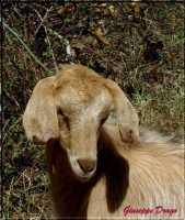 animali  - Caronia (3757 clic)