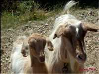 animali  - Caronia (4607 clic)