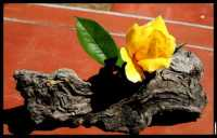 fiori  - Caronia (3903 clic)